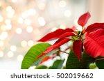 Christmas Flower Poinsettia...