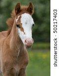 Portrait Of Nice Welsh Pony Foal