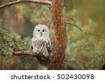 Ural Owl On The Branch Pine Tree