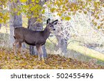 An Adorable Baby Mule Deer ...