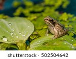 Wood Frog Metamorph