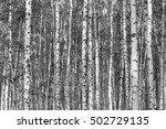 birch forest background  black... | Shutterstock . vector #502729135