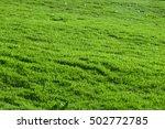 green grass texture  selective... | Shutterstock . vector #502772785