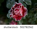Red Rose Covered With Frost In...