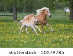 Running haflinger mare with nice foal - stock photo