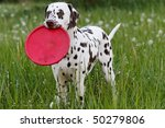 Beautiful Dalmatian on the meadow - stock photo