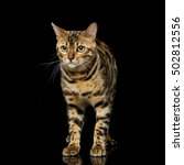 beautiful bengal cat | Shutterstock . vector #502812556