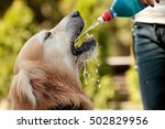 golden retriever drinking water ... | Shutterstock . vector #502829956