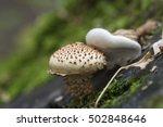 Pholiota Squarrosa Mushroom On...