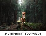 Stock photo dog nova scotia duck tolling retriever walk in the forest in summer 502990195
