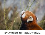 Red Panda Snacking On Leaves