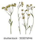 Stock photo pressed dried branch of chamomile drug herbarium of wild flowers 503076946