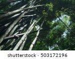 bamboo growing wild in lush... | Shutterstock . vector #503172196