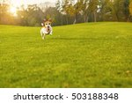 Stock photo active funny jumping jack russel terrier running on green meadow happy natural background pet 503188348