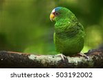 Small photo of Green parrot White-fronted Amazon, Amazona albifrons, Belize