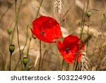 Red Poppies  Papaver Rhoeas ...