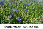 wild forget me not flowers... | Shutterstock . vector #503255506