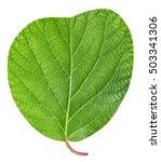 Kiwi Leaf Isolated On White...