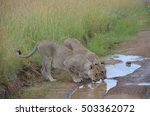 Lioness Of South Africa...