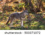 a lone coyote in the forest | Shutterstock . vector #503371072