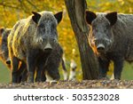 Curious Wild Boars Looking At...