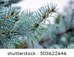 Small photo of Fir tree in park in Beria - Saint Lukas
