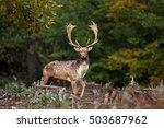 fallow deer  dama dama  czech... | Shutterstock . vector #503687962