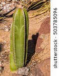 Organ Pipe Cactus  Pachycereus...