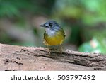 Small photo of Yellow-bellied Bulbul (Alophoixus phaeocephalus) standing on a log in nature with blurred green background.
