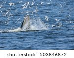 buda whales in the gulf of... | Shutterstock . vector #503846872