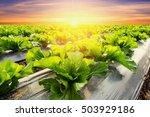 lettuce plant on field... | Shutterstock . vector #503929186