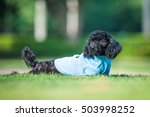 Poodles Playing In The Grass