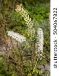 Small photo of Fairy candle, rattle, snake root Actaea racemosa