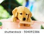 golden retriever puppies playing | Shutterstock . vector #504092386