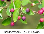 Small photo of Amelanchier canadensis fruit on the tree