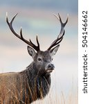 scottish red deer stag | Shutterstock . vector #504146662