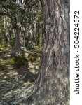 scots pine at abernethy forest... | Shutterstock . vector #504224572