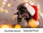 Border Collie In Santa Outfit...