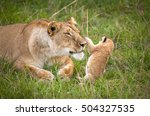 mother lion tenderly nuzzling... | Shutterstock . vector #504327535
