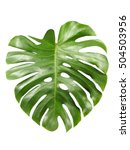Small photo of Monstera large shiny green leaf, tropical jungle design, aka Swiss cheese plant, isolated on white background