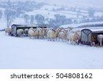 Charollais Cross Kerry Sheep...