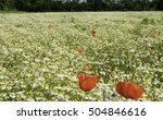 chamomile field and poppies | Shutterstock . vector #504846616