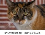 Small photo of Multicolored, inger, grey, white, brown patched cat, with green eyes