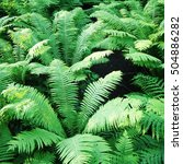 Fern Thickets In The Forests O...
