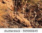 australian lizard   Shutterstock . vector #505000645