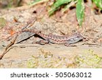 Fence Lizards  Sceloporus...