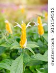 Small photo of Pachystachys lutea Nees, Lollypops,Golden candle, Golden shrimp plant, Lollypops, ( Acanthaceae) flower