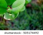 Small photo of Sonneratia ovate fruit, mangrove tree and blur background