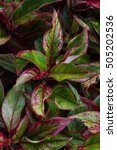 Small photo of Aglaonema leaves background