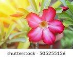 Desert Rose Tropical Flower On...